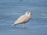 Iceland Gull (juvenile)