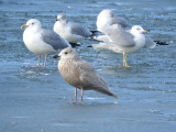 Iceland Gull (juvenile) with Herring and Ring-billed Gulls