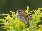 Song Sparrow with food