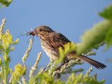 Song Sparrow with White-faced Meadowhawk
