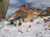 Cedar Waxwings eating snow