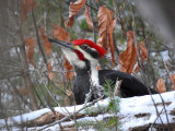 Pileated Woodpecker, male