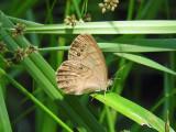 Eyed Brown (Satyrodes eurydice)