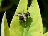 Orange-spotted Drone Fly (Eristalis anthophorina)