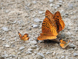 Great-spangled Fritillaries (Speyeria cybele) with Northern Crescents
