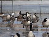 Blue Morph Snow Geese