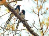 Red-billed blue magpie, at dusk