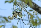 Bruinbonte eekhoorn