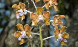 Vanda bensonii pollinator