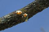 Dendrobium bellatulum only on Pinus kesiya