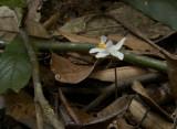 Didymoplexiopsis khiriwongensis, leafless ground orchid on fungi, flower 3 cm