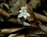 Didymoplexiopsis khiriwongensis, like Epipogium aphyllum up side down