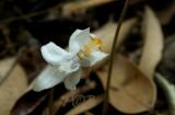 Didymoplexiopsis khiriwongensis  in symbiosis with fungi
