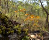Bulbophyllum wallichii