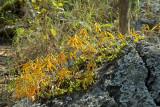 Bulbophyllum wallichii in habitat, 1000 mtr.