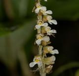 Zeuxine parvifolia