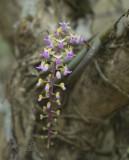 Cleisostoma arietinum,flowers 1 cm