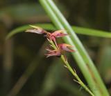 Bulbophyllum rufinum red variety