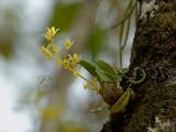 Eria bractescens in habitat.