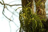 Vanda denisoniana in habitat 20 mtr of the ground
