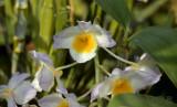 Dendrobium farmeri close