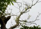 Dendrobium venustum on dead tree