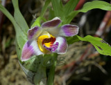 Chysis limminghei, flower 3 cm across