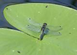 Leucorrhinia caudalis, female