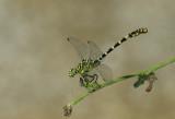 Onychogomphus forcipatus ssp. unguiculatus - male
