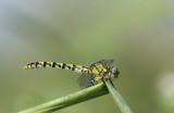Onychogomphus forcipatus ssp. unguiculatus - female