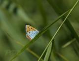 Grote vuurvlinder, Lycaena dispar ssp. batava, endemisch voor Nederland
