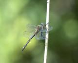 Somatochlora flavomaculata, male