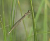 Noordse winterjuffer vrouw jong - Sympecma paedisca   female