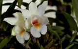 Dendrobium bellatulum, pale form from Birma