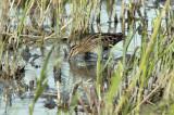 Watersnip in zijn/haar natuurlijke biotoop