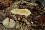 Hoornsteeltaailing, Marasmius cohaerens