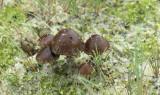 Zandkaalkopjes, Deconia montana
