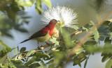 Aethopyga siparaja, Crimson Sunbird