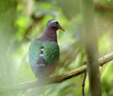 Emerald dove, groenvleugelduif