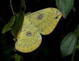 Loepa sikkima, Golden emperor moth