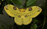 Loepa sikkima, Golden emperor moth, 7 cm.