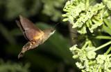 Hummingbird hawkmoth, Macroglossum belis