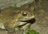 Black veined toad
