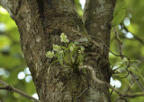 Dendrobium eriiflorum, tree is Prunus cerasoides