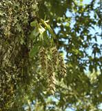 Dendrobium denudans section Stachyobium, 2100 mtr.