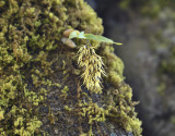 Dendrobium denudans section Stachyobium