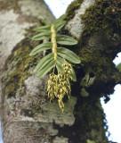 Dendrobium strongylanthum section Stachyobium