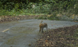 Macaque, Phu Luang, Macaca nemestrina