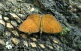 Ariadne specularia