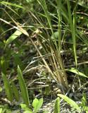 Tainia gramminifolia